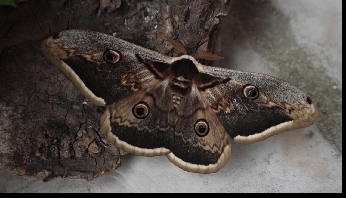 Papillon de nuit 2