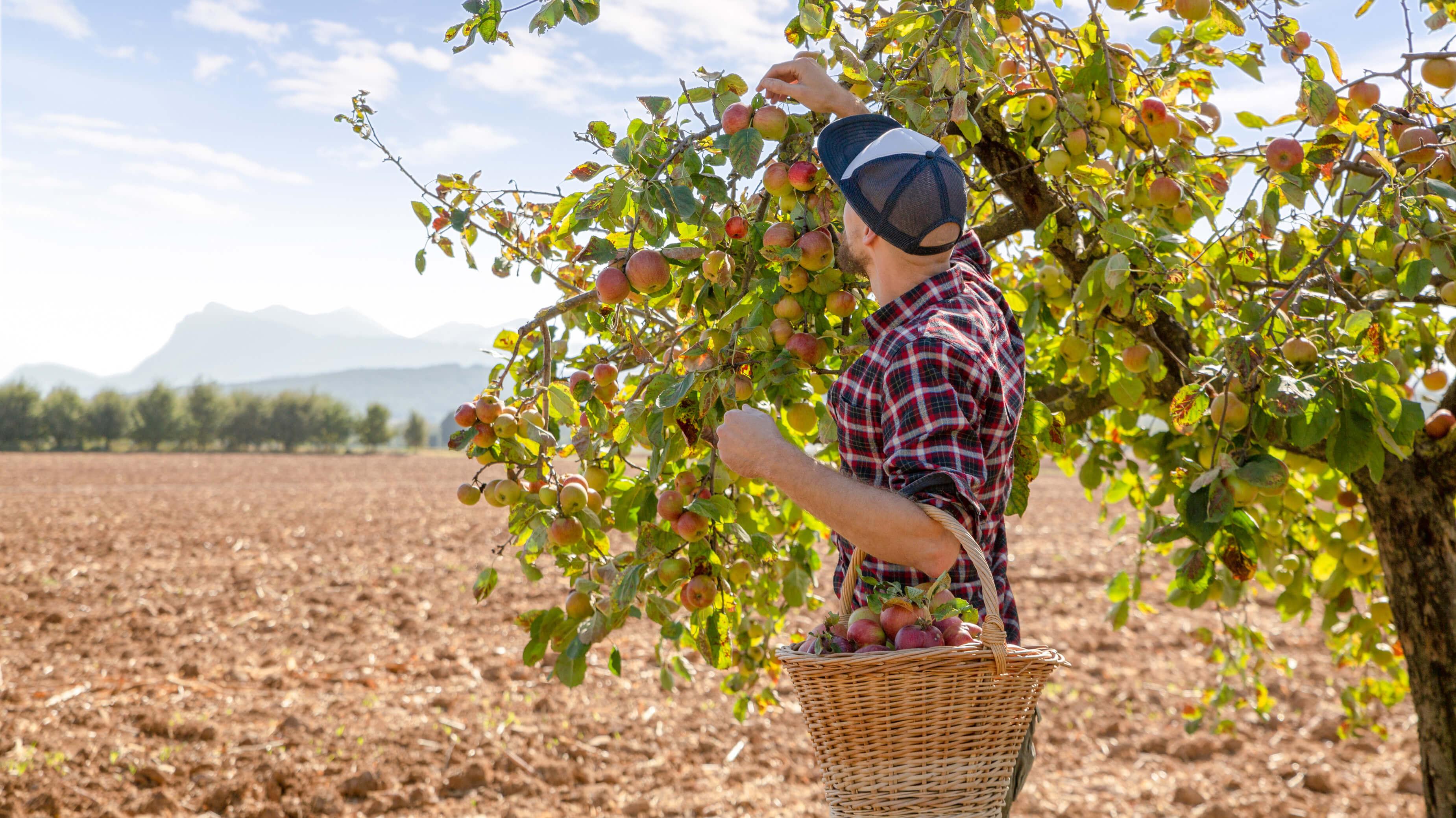 Recolte de pomme