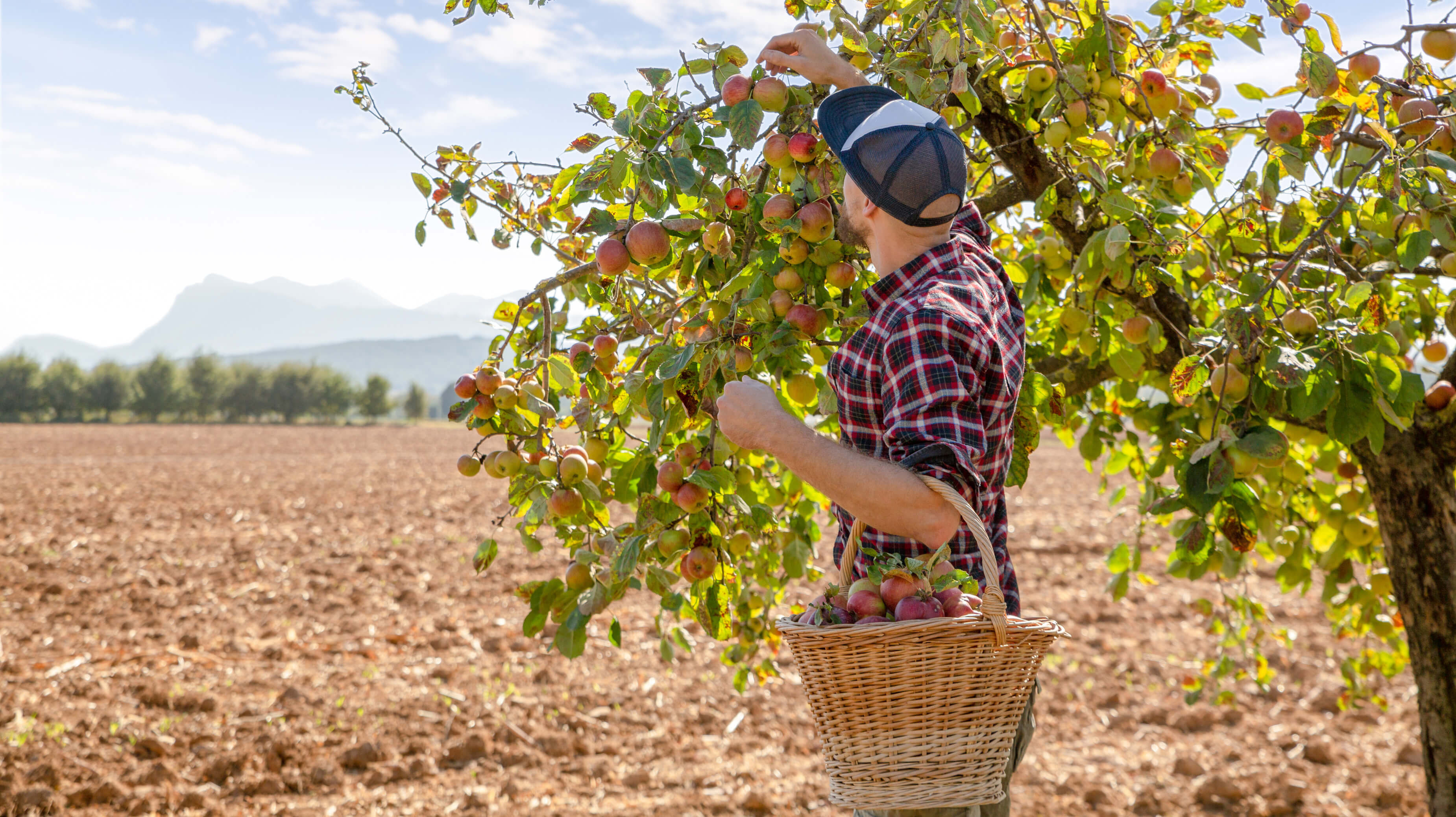 recolte pommes